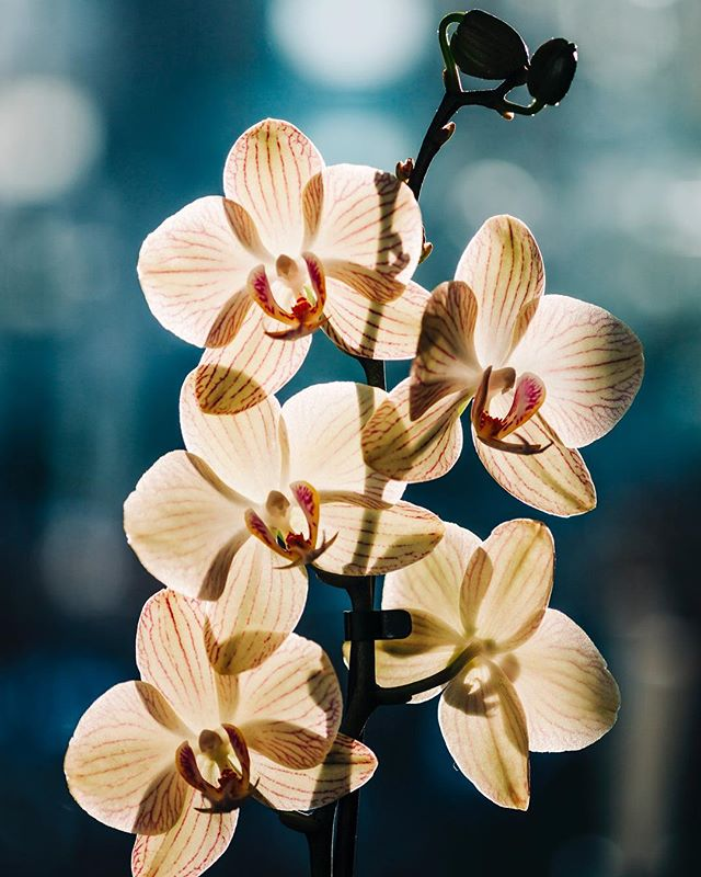 Orchids. Copenhagen, Denmark.  Backlighting the queen of flowers shows the details in quite a distinct perspective.