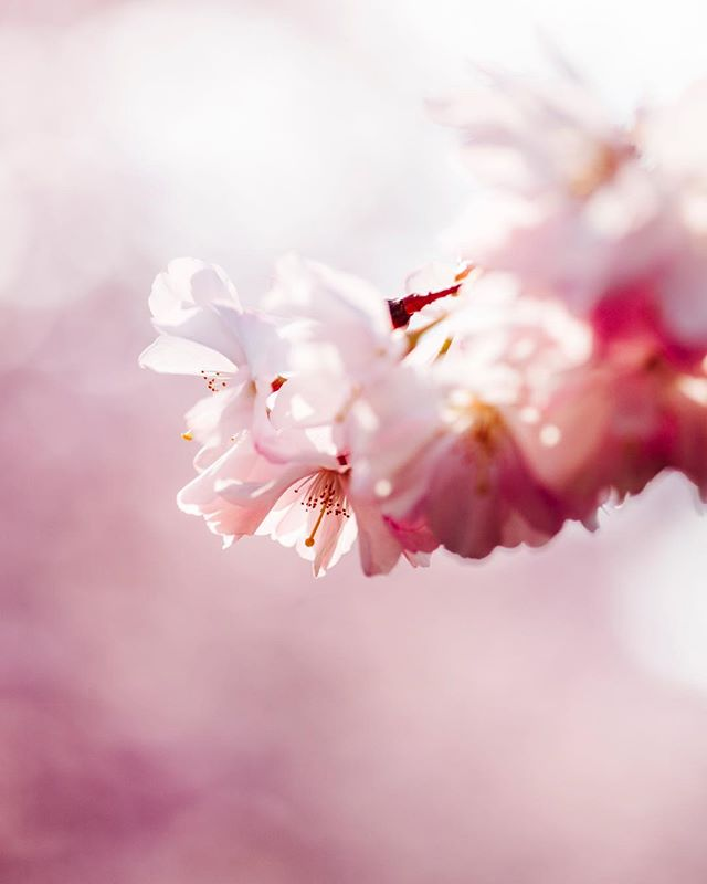 Cherry Blossoms. Copenhagen, Denmark.  Enough said, it's sakura season in the capital. The bloom attracts many admirers from all walks of life. It dazzles in the bright sunlight, while the birds are singing nearby. A sight to be seen.