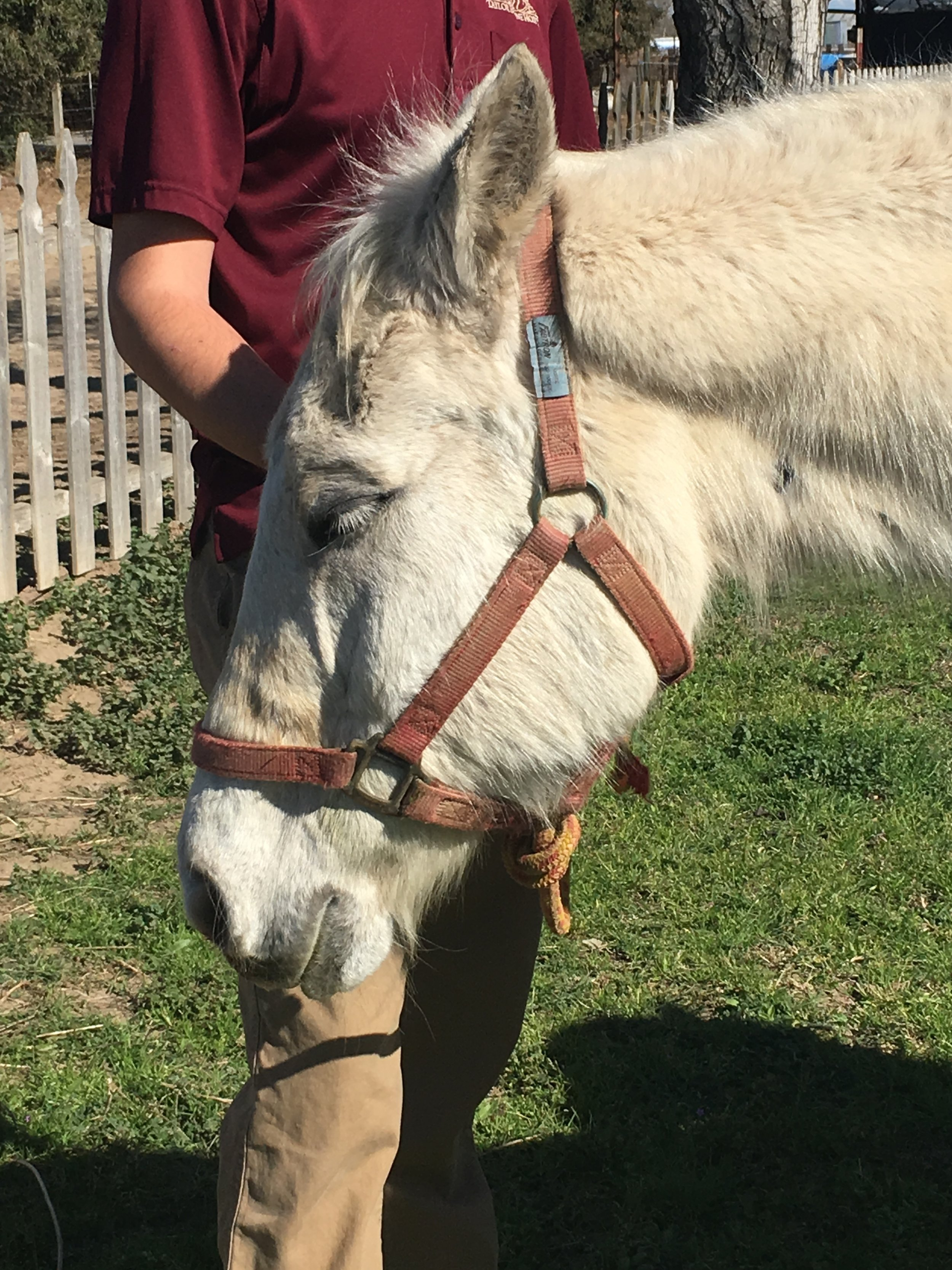Sweet William, formerly known as Sheets, when we first met him through our Helping Horses at Home Program in late February 2018. He has since joined the Blue Horse Rescue family.
