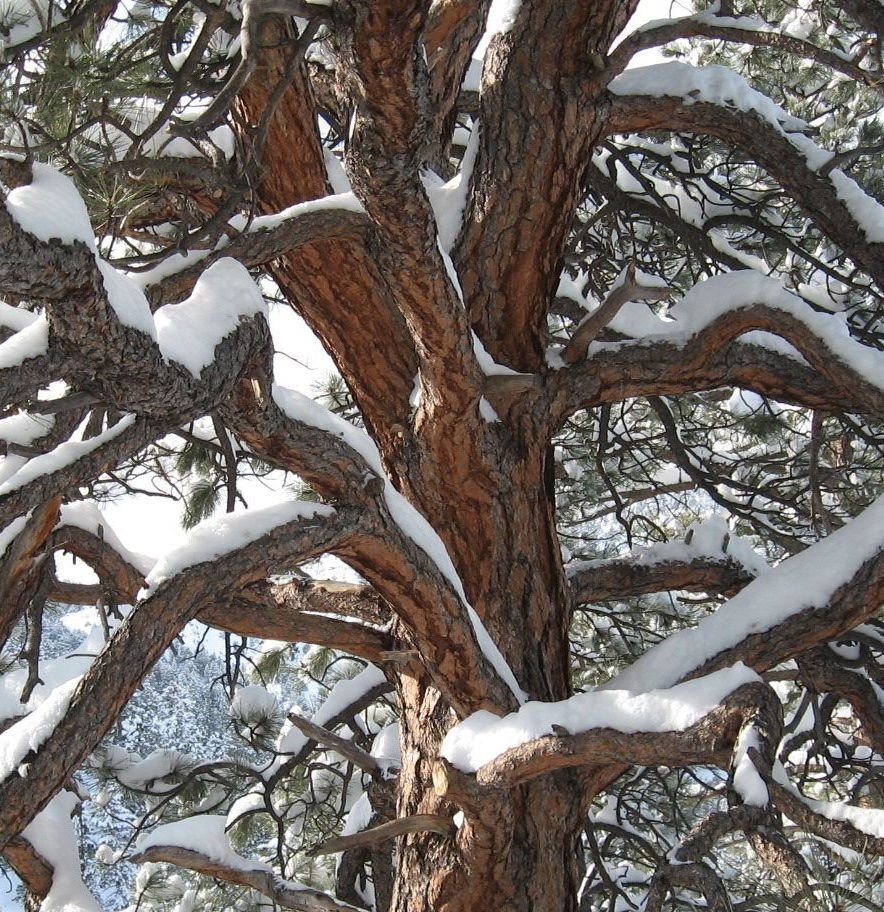 snowy tree square.jpg