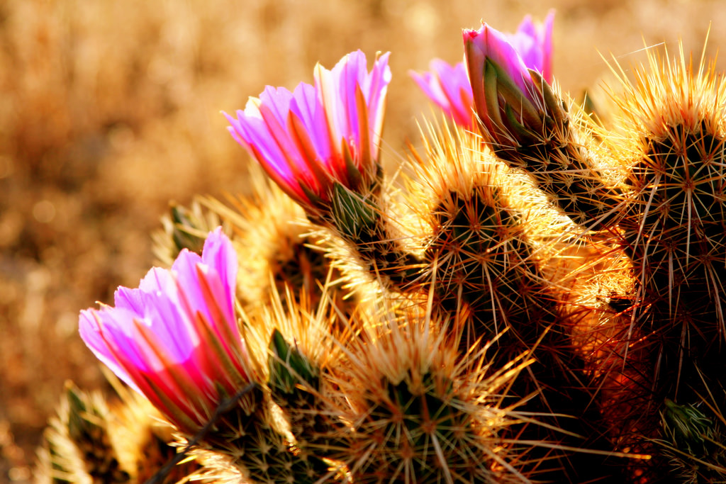 """""""  Creative Commons Desert Flowers  """"  by John Morgan is licensed under   CC BY 2.0"""