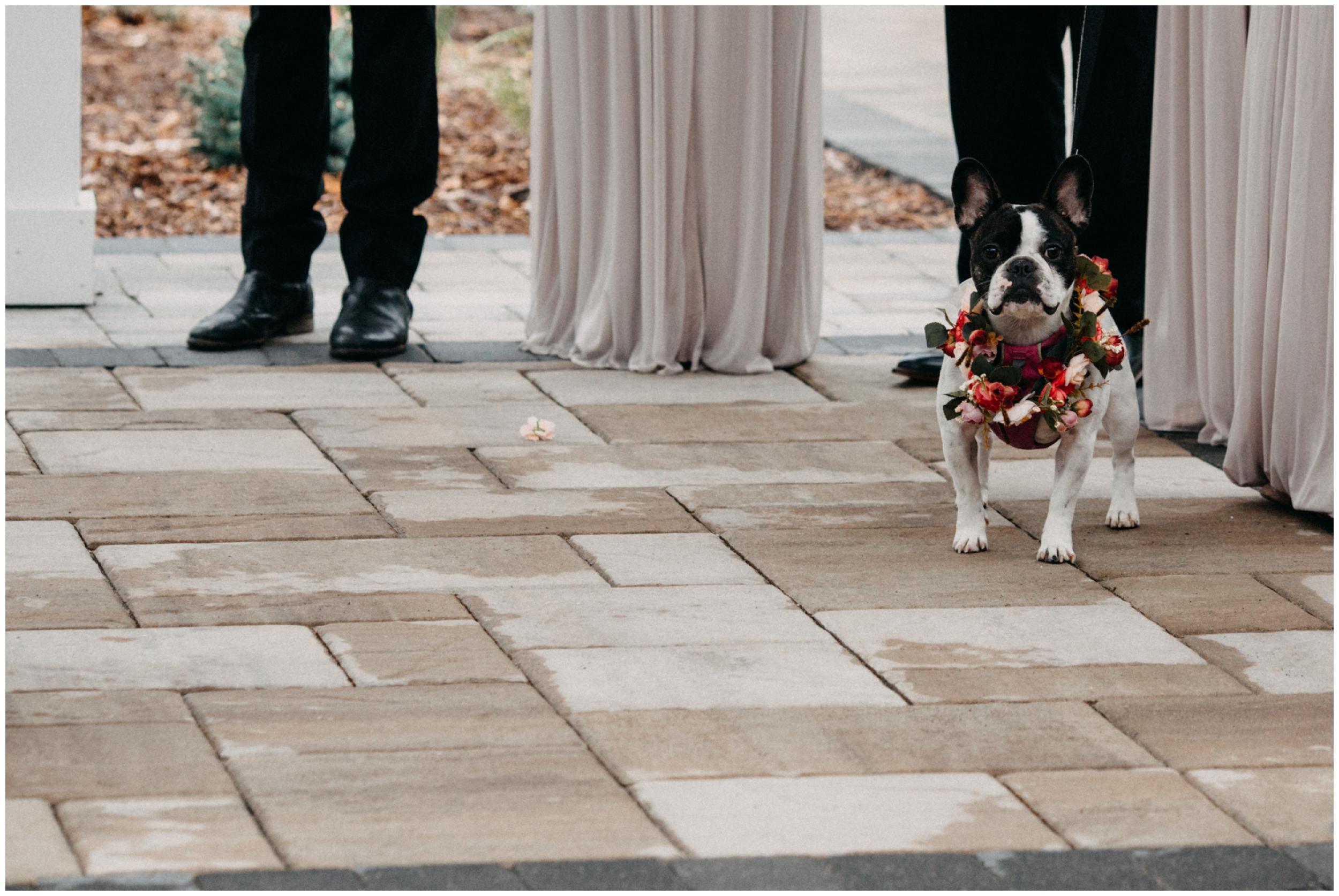 French bulldog flower girl at Quarterdeck Resort wedding