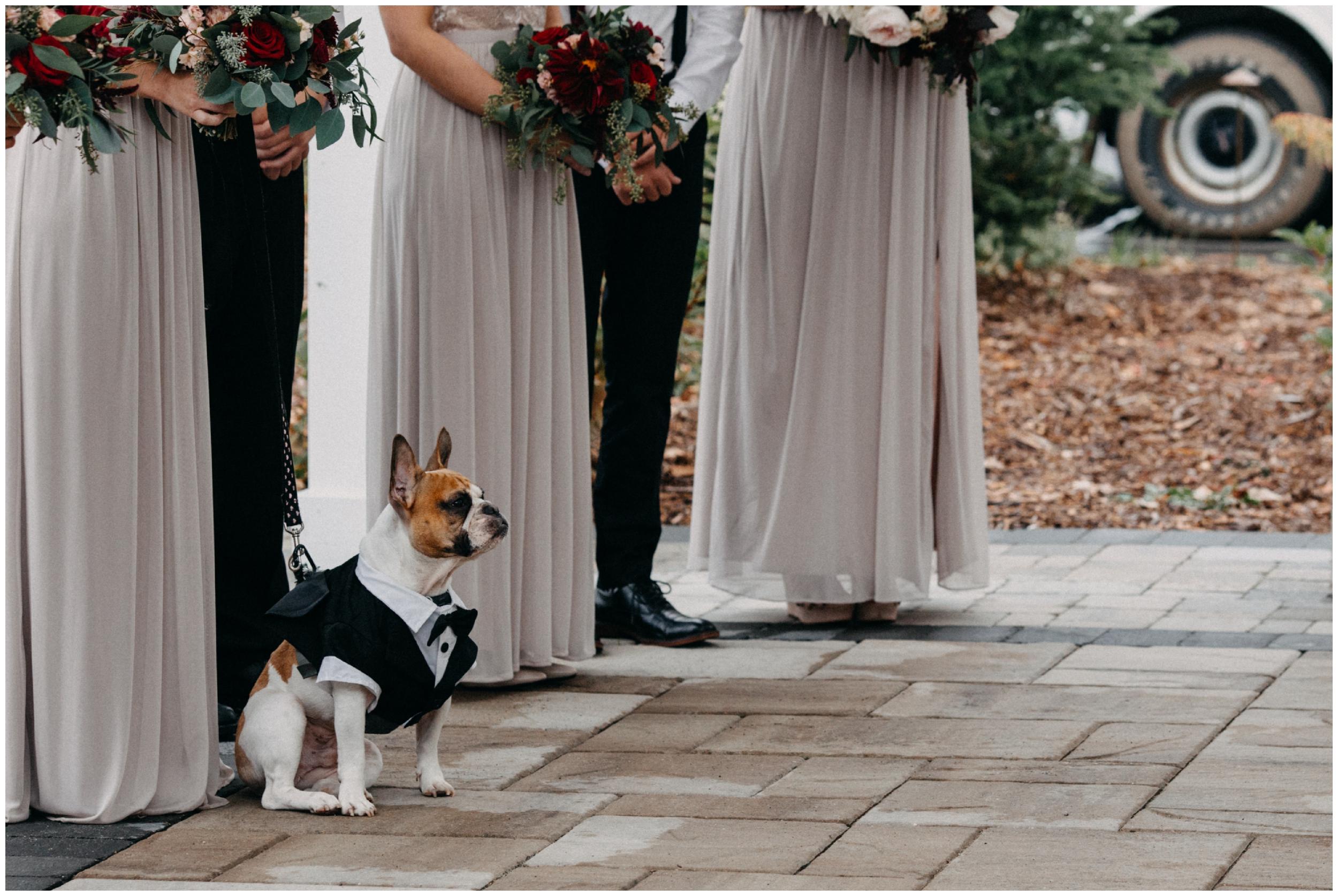 Adorable french bull dog in tuxedo at Quarterdeck Resort outdoor wedding ceremony