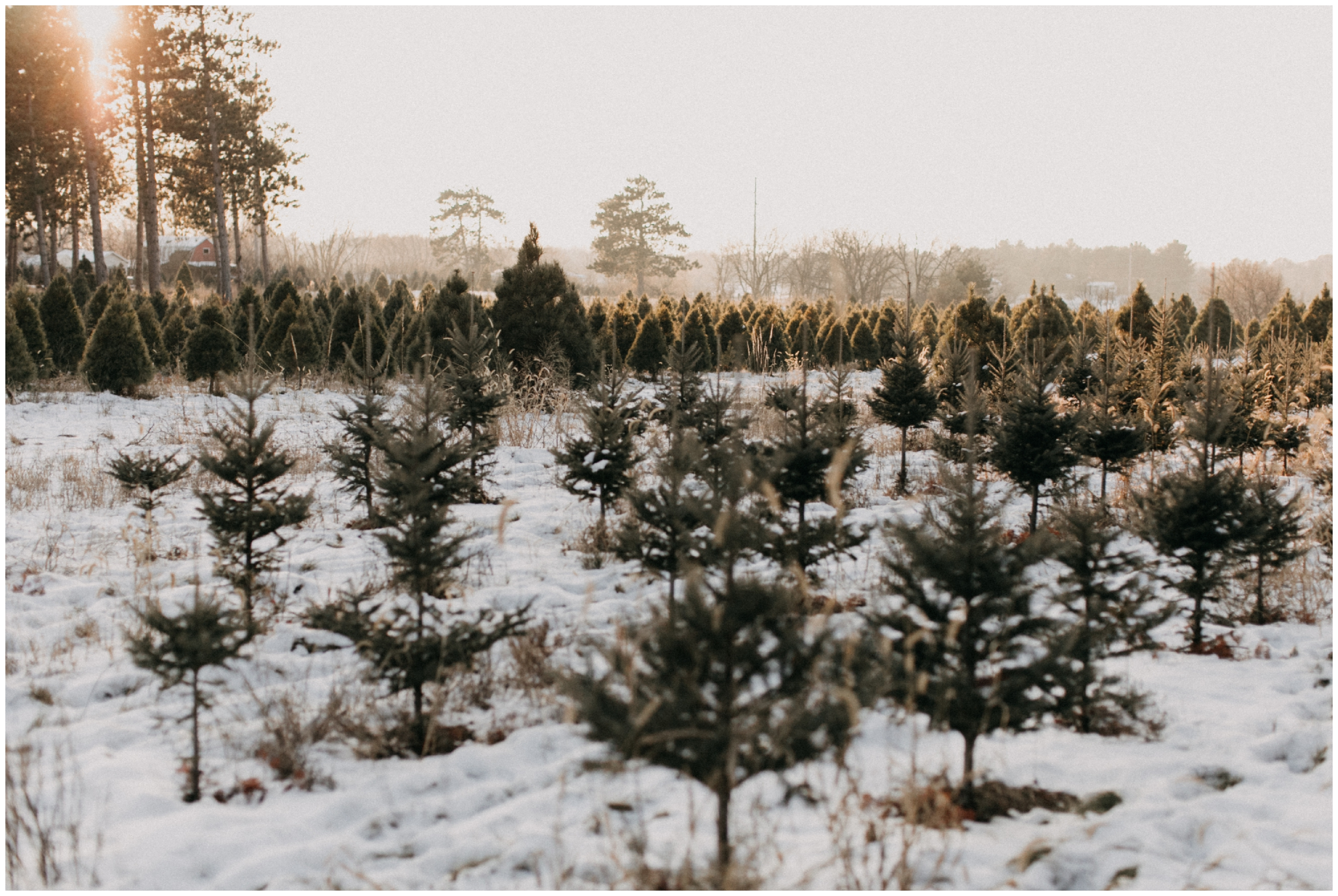 Minnesota winter engagement session during sunset at Hansen Tree Farm