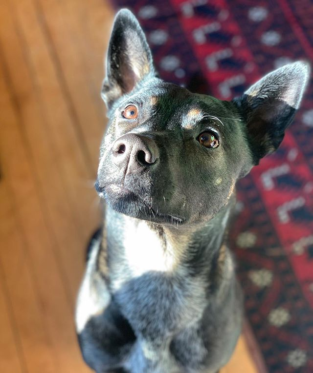 Just posing in the good light. . . . #willposefortreats #adoptdontshop #goodkarmamn #instadog #isheamodel #sweetheart #❤️