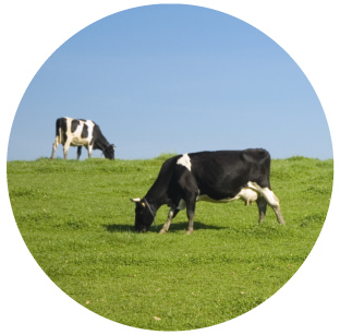 Surface Irrigation - Dairy Pasture   Increased milk production comes from a more productive pasture. Manage water delivery to ensure the best possible pasture growth.