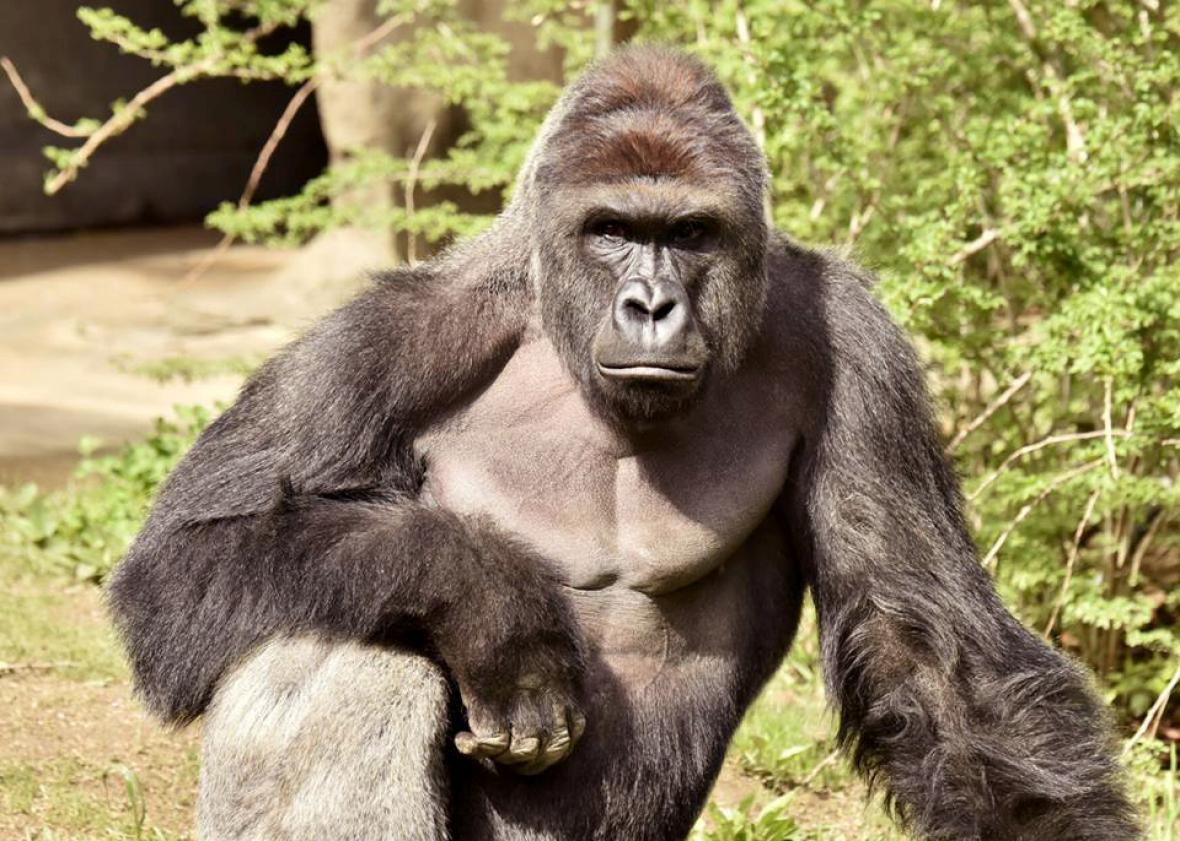 Harambe-the-Gorilla.jpg
