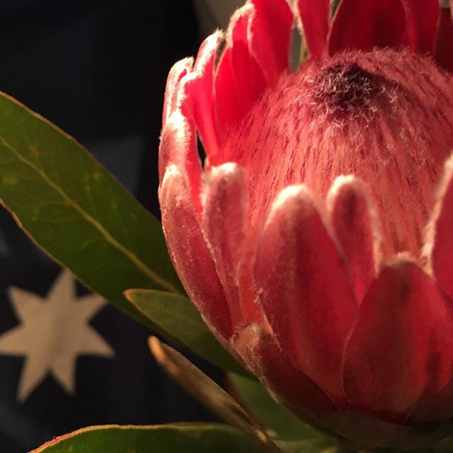 A protea from @secondstreetflowers to fancy up my desk