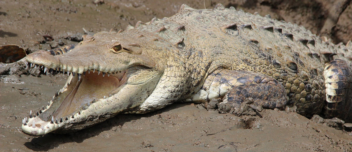 crocodile-wildlife-viewing-manoas-luxury-camping-glamping.JPG