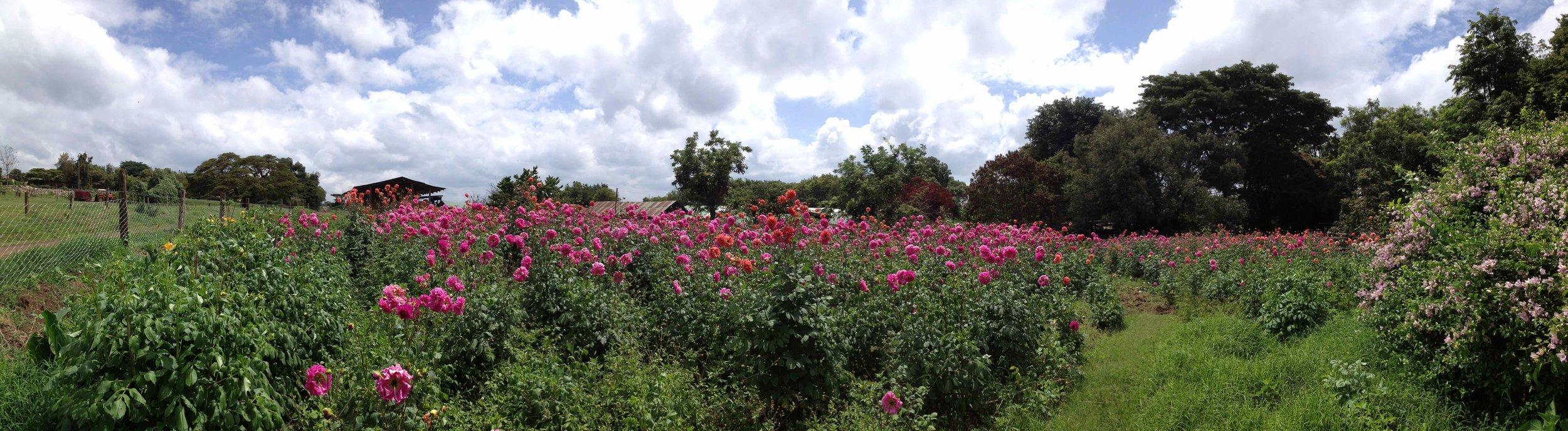 View of the Dahlia field at Kenana Farm, pic by Georgina Cullum in 2014.