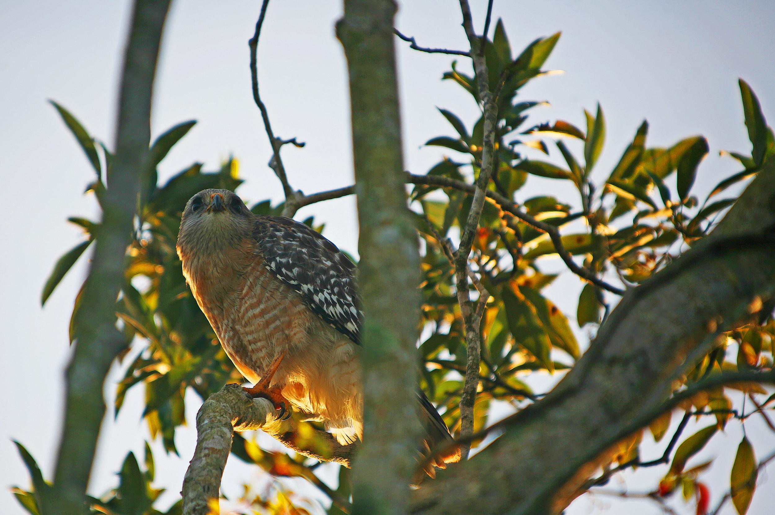 Red Shouldered Hawk 2.jpg