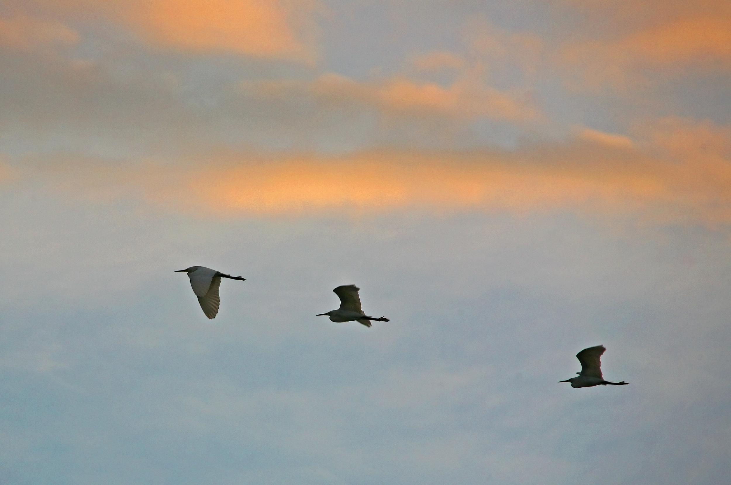 Egrets at Sunrise.jpg
