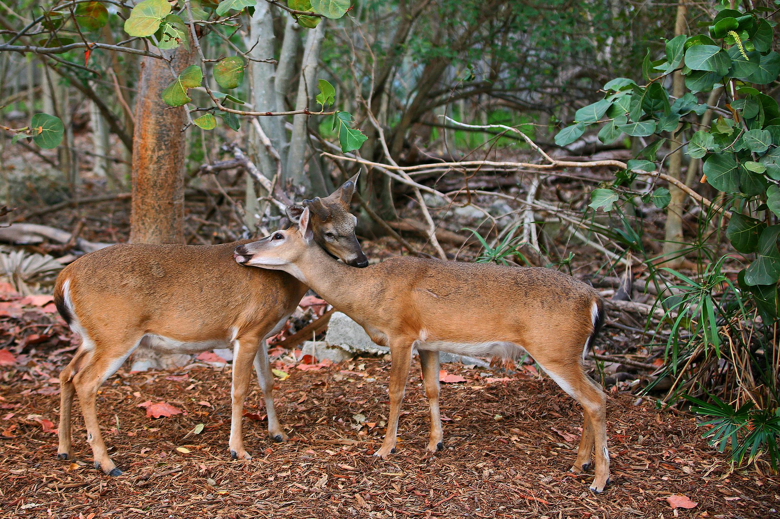Key Deer Love.jpg