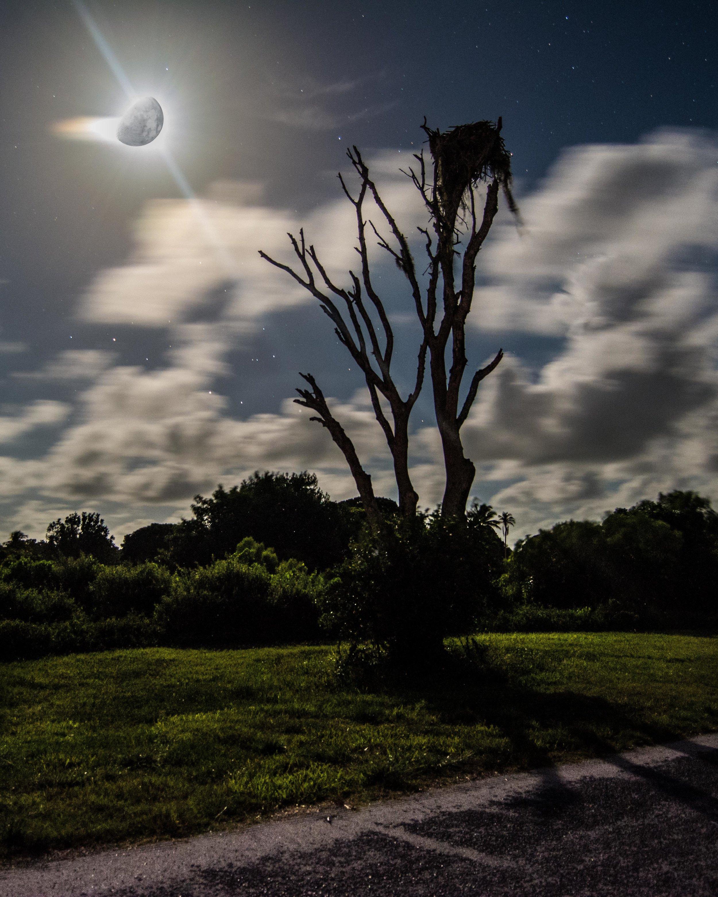 Osprey Tree.jpg