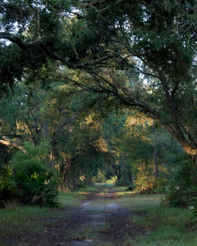 Okeechobee sunrise in the oaks... courtesy of Ken Johnson.  #sunrise #okeechobee #oaktrees
