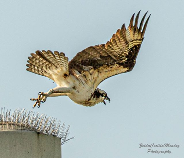 Osprey taking off! Courtesy of Zeida Cecilia-Mendez  #osprey #florida #okeechobee #birds