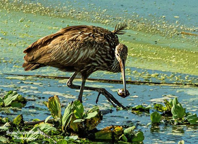 Okeechobee weekend - limpkin courtesy of Zeida Cecilia-Mendez  #sfnpcc #okeechobee #limpkin #birds #florida