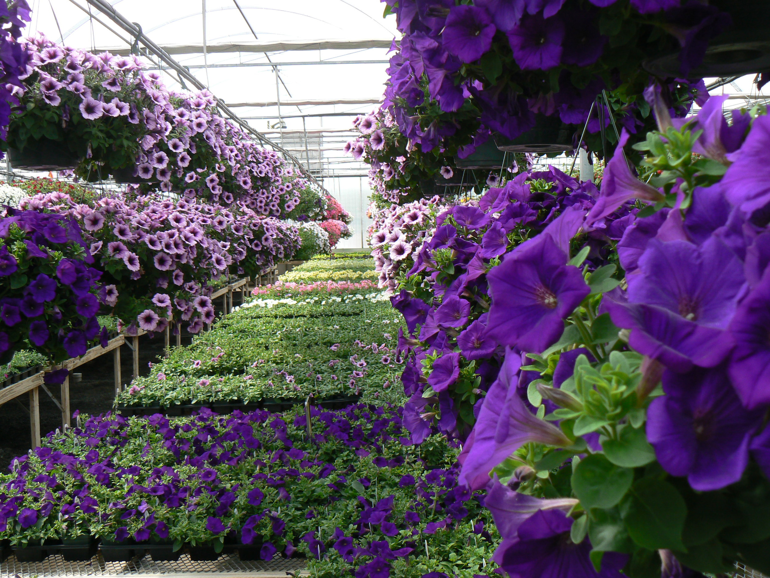 Royal Velvet Supertunia