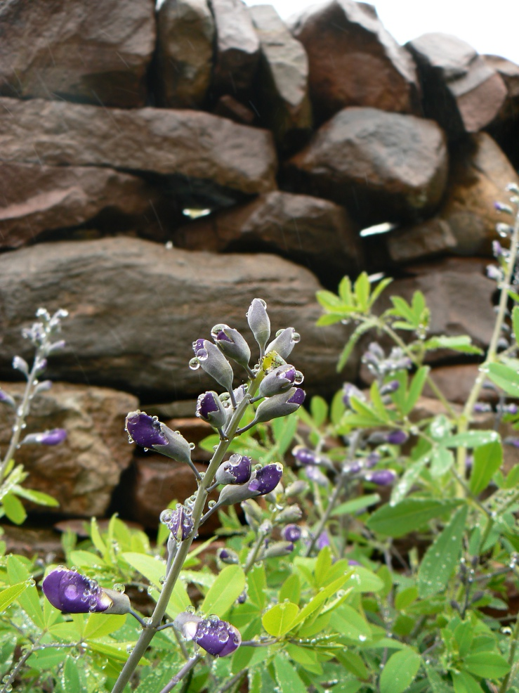 Baptisia is a beautiful late-spring blooming perennial. Our dry masonry  stone wall creates a nice backdrop.