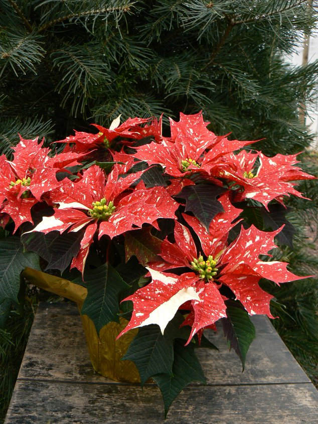 "A beautifully varigated red and white poinsettia called 'Jinglebells', in a 6.5"" pot."