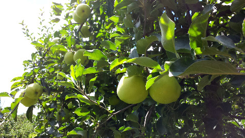 Gingergold apples are one of the first varieties we pick. In just a few more days they'll be ready!