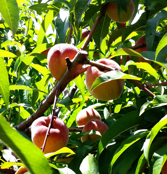 Peaches are always picked tree-ripened: firm to the touch but fully colored.