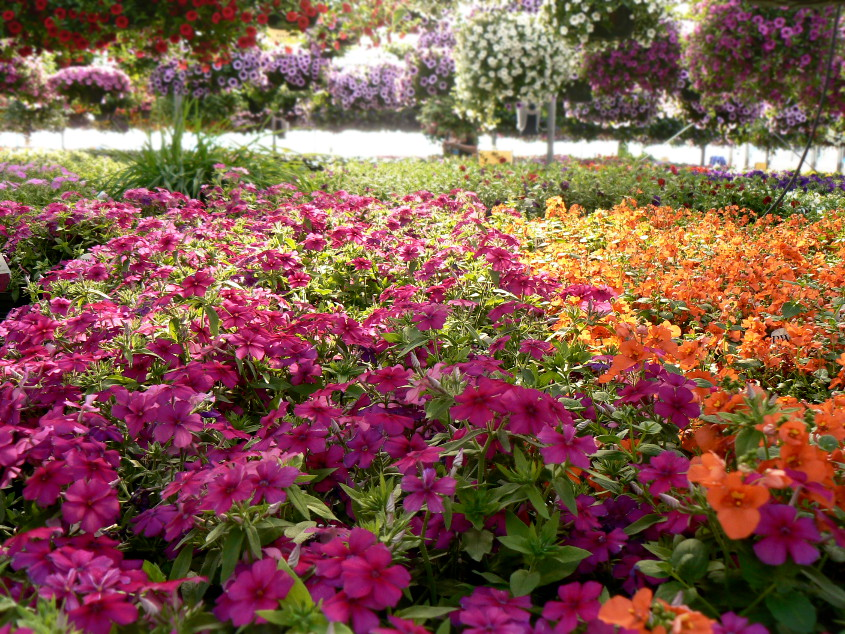 Bedding Plants Kirby S Farm Market, What Is An Annual Bedding Plant