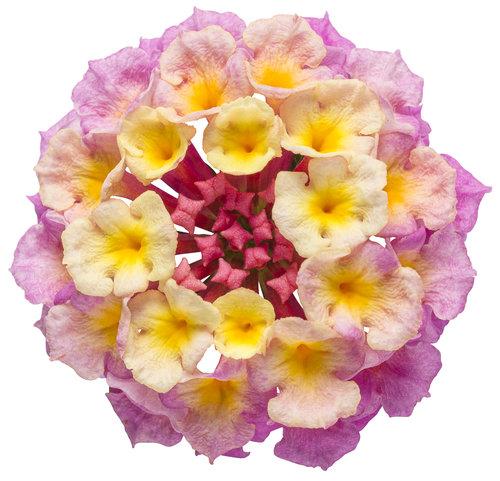 Lantana Pinkberry Blend