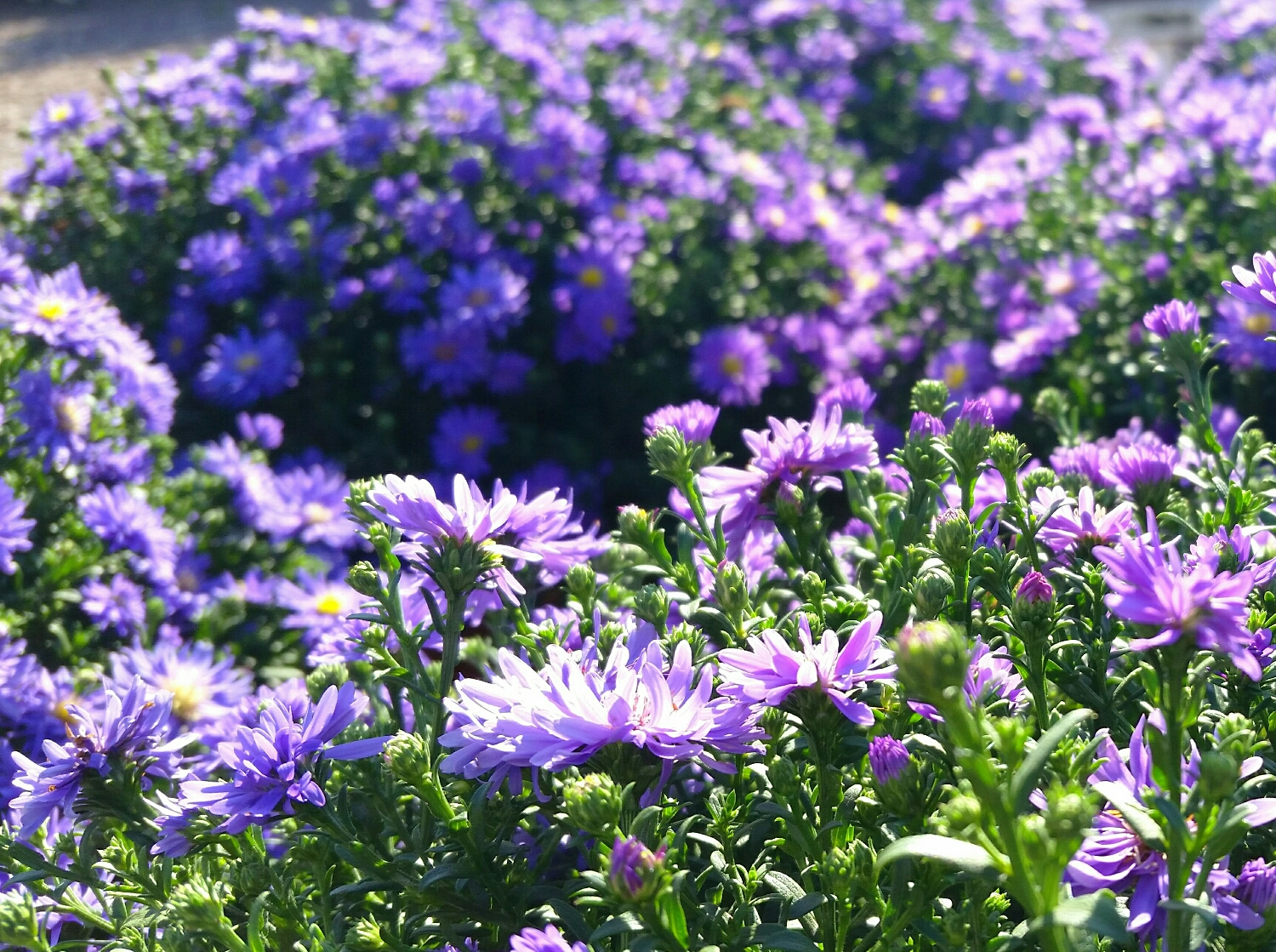 Asters give the perfect pop of purple color to contrast with the warm tones of pumpkins and mums.