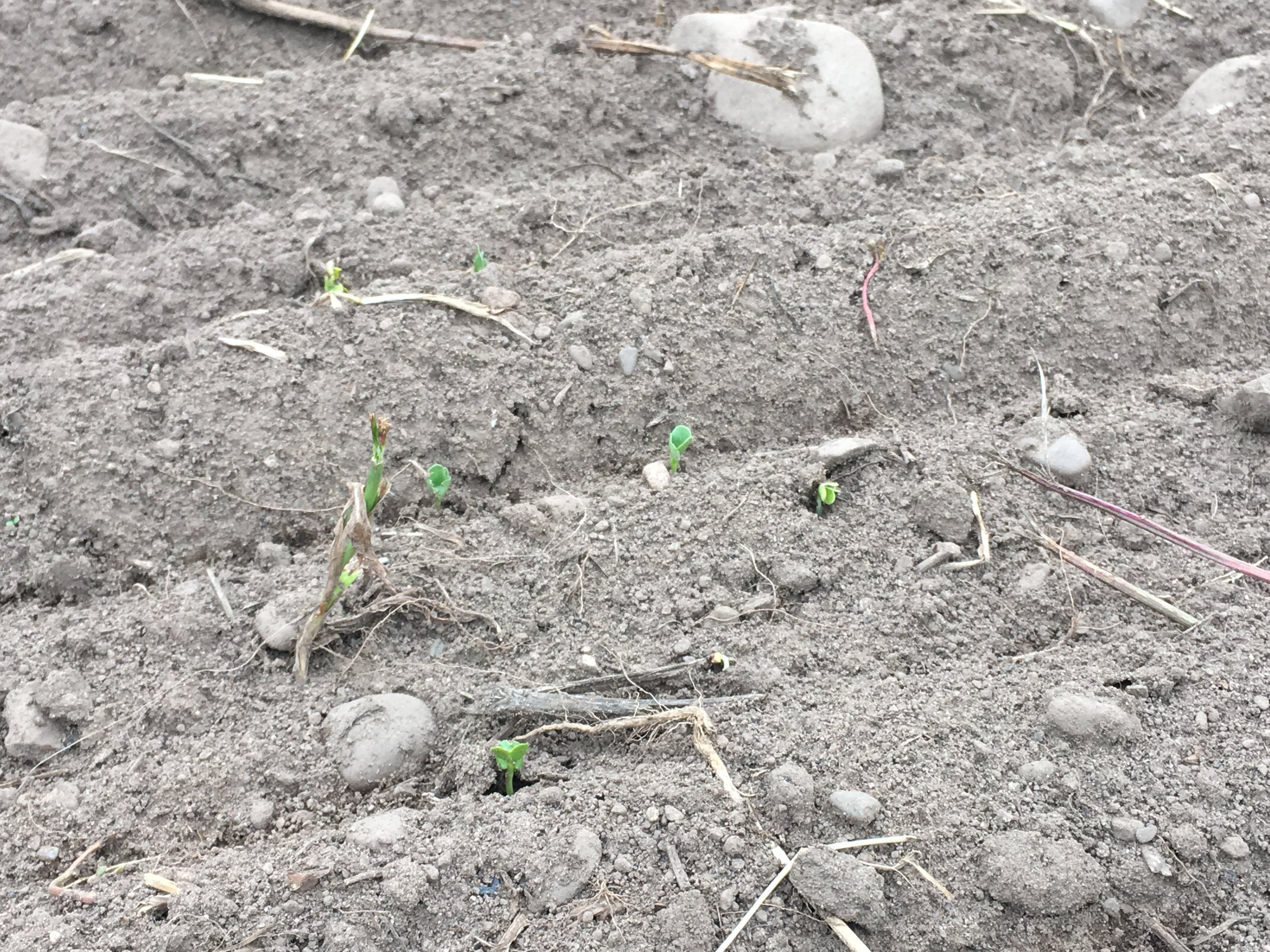 Only two days after seeding,  radish seedlings emerge and brighten the drab landscape.