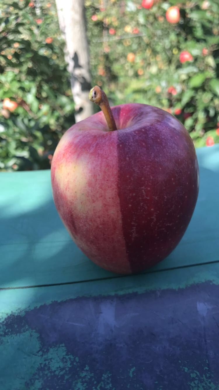 A very peculiar gala apple found yesterday.
