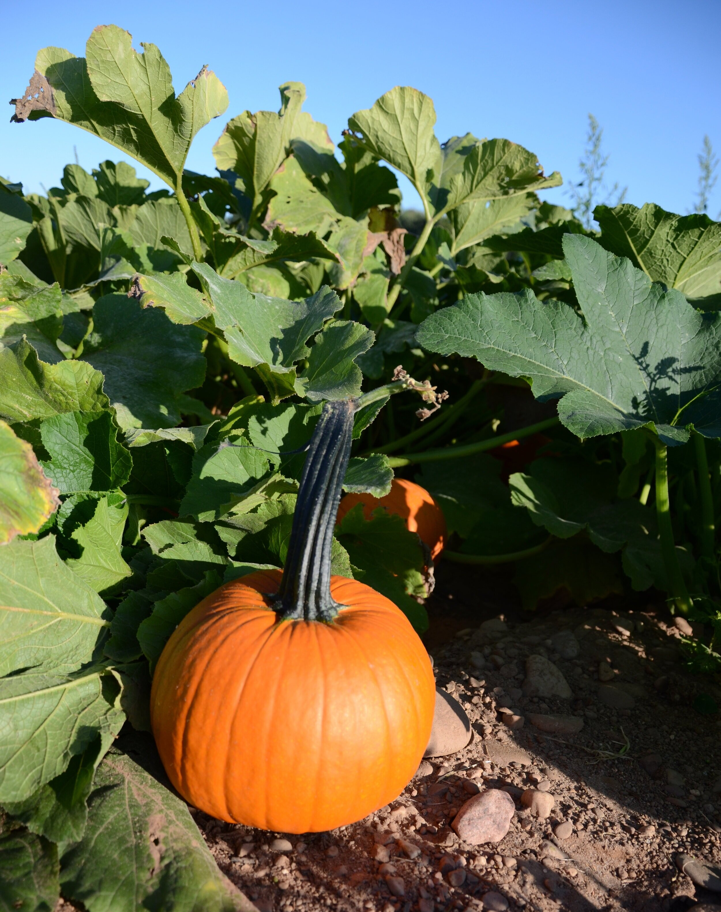 Pick a Pumpkin! - Find your perfect Pumpkin in our Pumpkin Field!