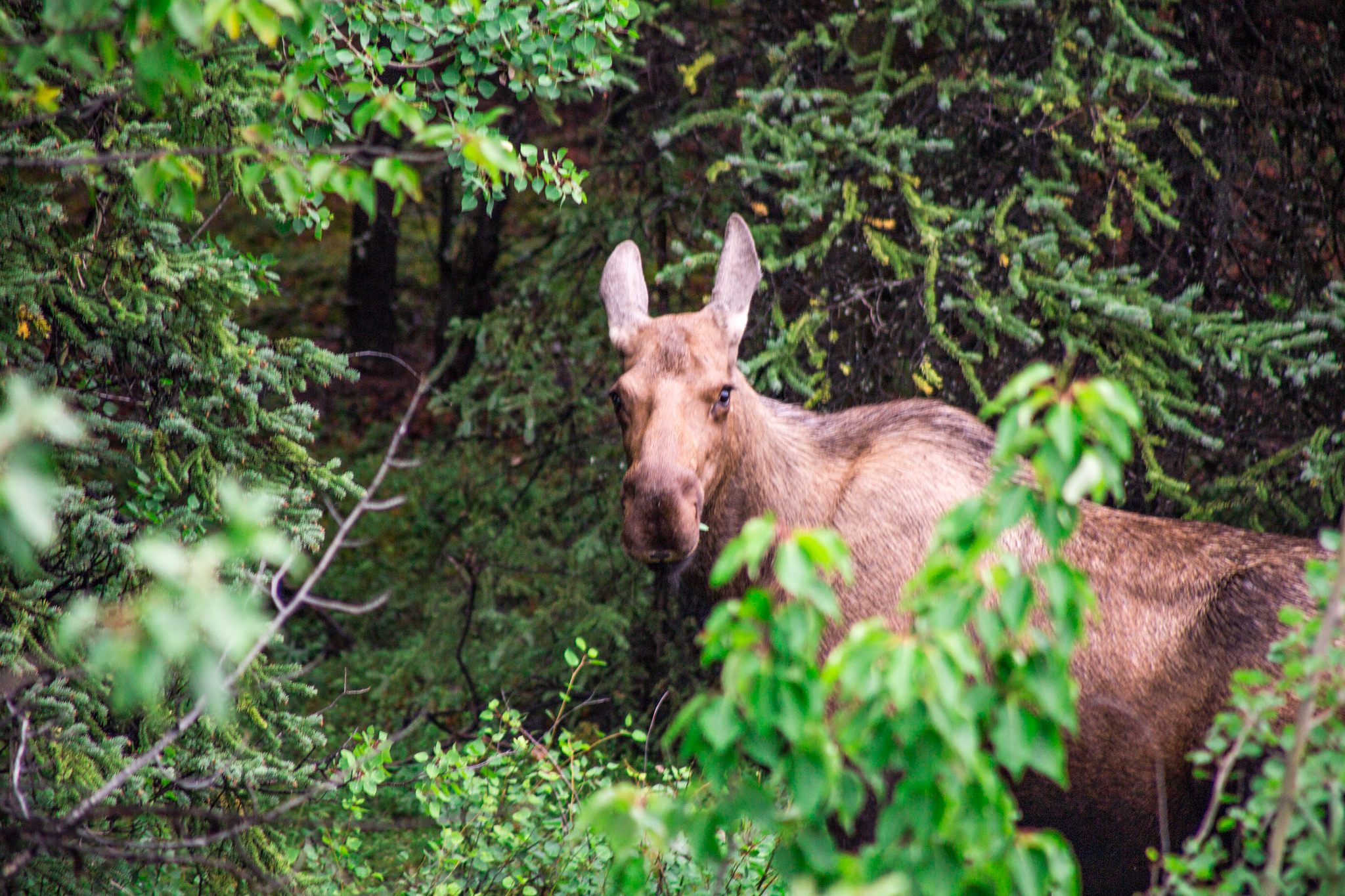 No worries here... I was actually quite far away from this Moose. :)