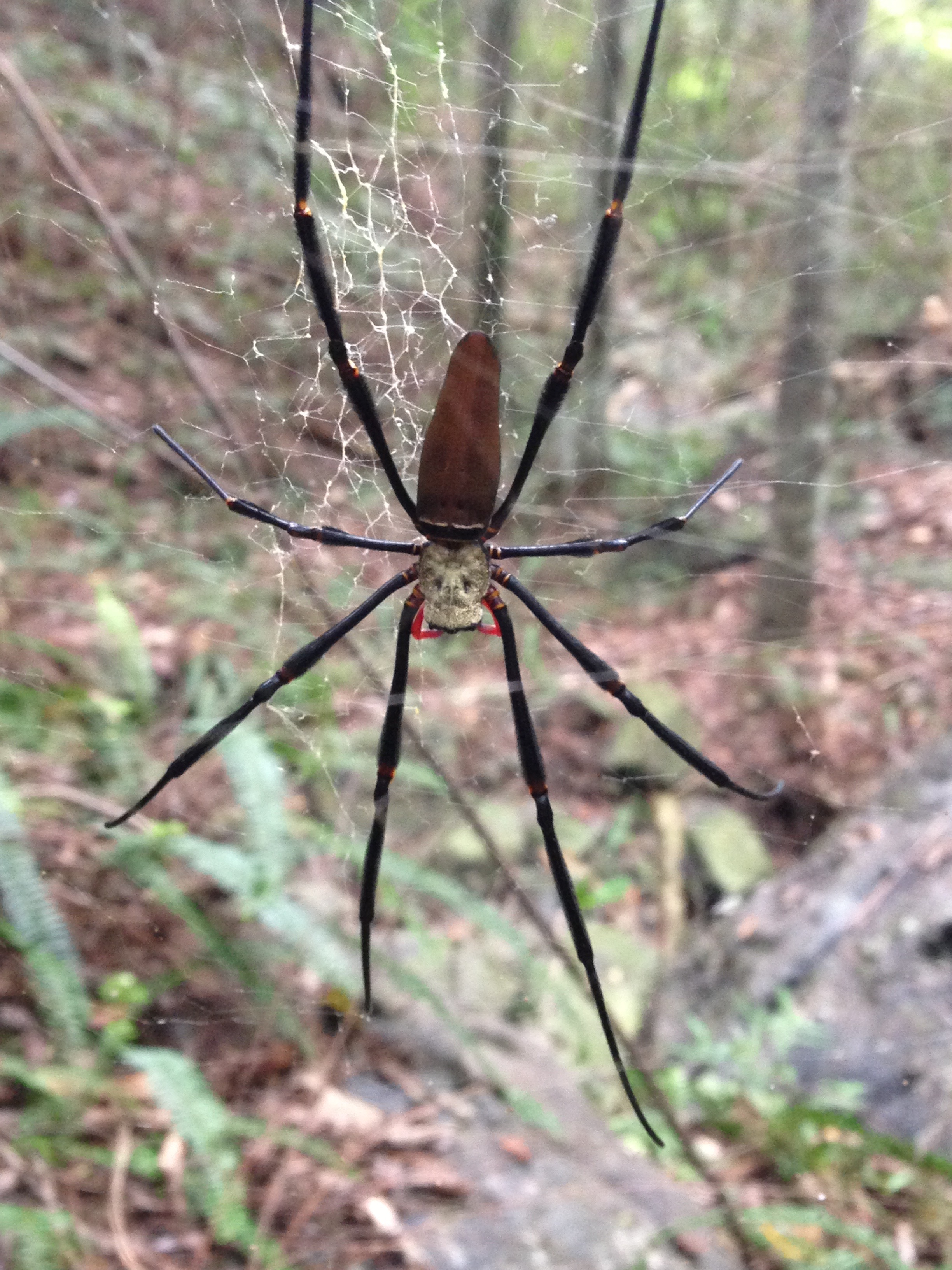 The mark of a field biologist - a couple of us explored a massive ravine near our property last week. There were no trails, loads of thorny trees, and very thick undergrowth. At one point I lost my footing on a slope and jumped across a dry creekbed to a flatter patch and nearly put my face right through this lady's web (females are the big ones, males are pretty tiny). When my techs jumped down right behind me we all had the same reaction - a giant bout of guttural laughter at the proposition of running straight into this thing. We had escaped an uncomfortable moment and the only thing to do was to laugh at the possibility of one of us tearing off through the underbrush or tumbling down a hill when we saw one of these poke its head over the brim of our hat.   They're not supposed to be very venomous by the way. If you google Golden Orb Weaver you'll find pictures of people holding them. We chose not to partake in that endeavor.