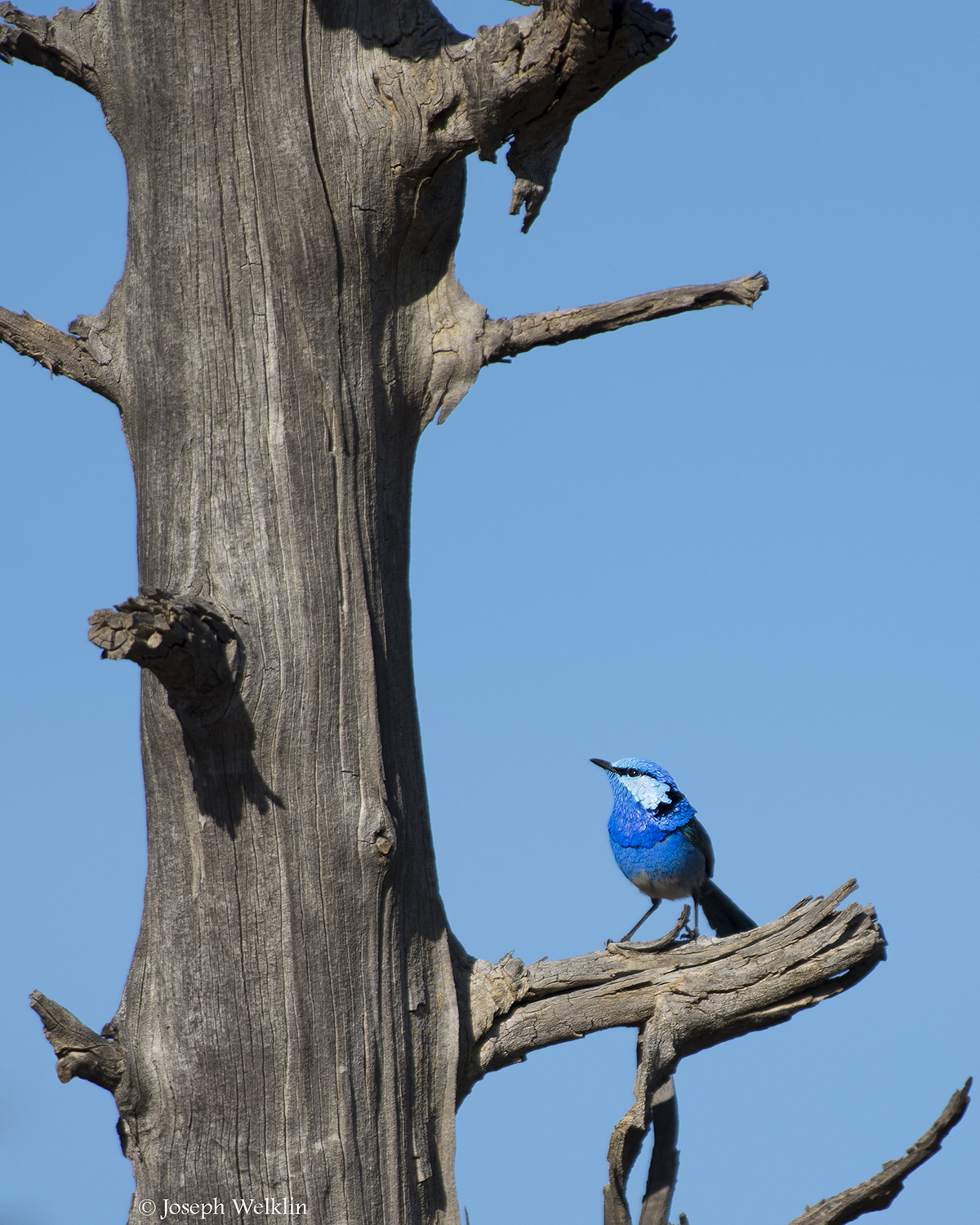 Splendid Fairy-wren. He jumped up to this high perch, belted out a few songs, then dropped back out of site.Photographed in September in Western Queensland, Australia.