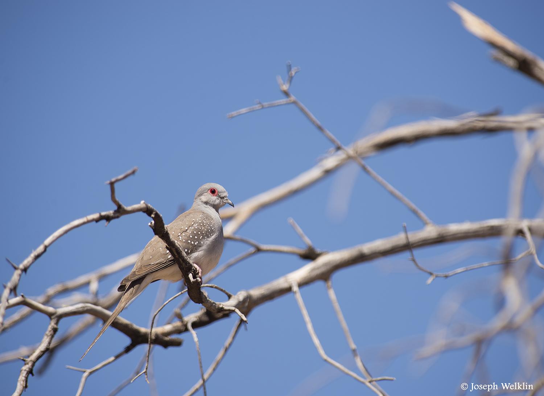 Diamond Dove. Photographed in Western Queensland, Australia.