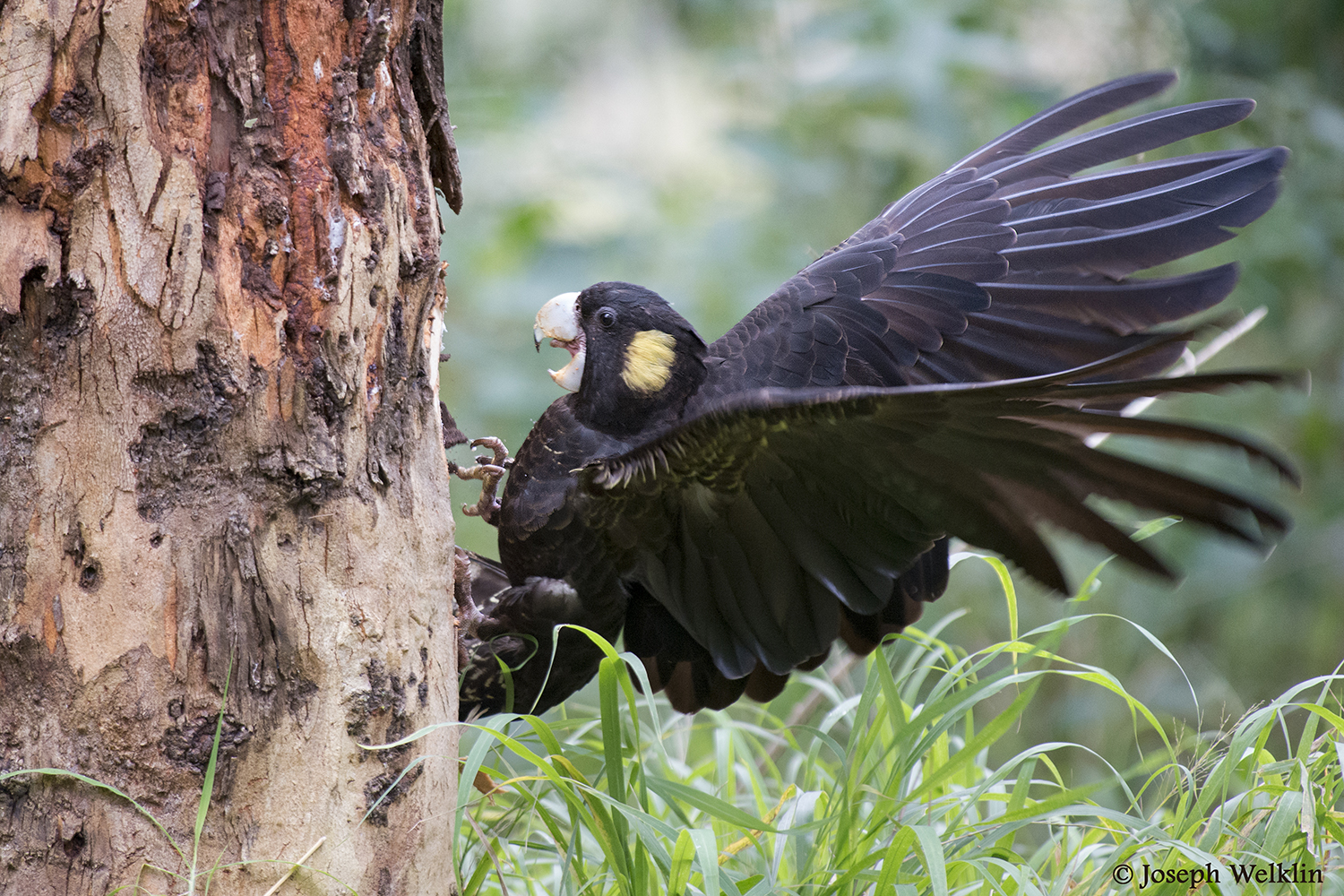 A female Yellow-tailed Black Cockatoo loses her grip on a eucalyptus tree.