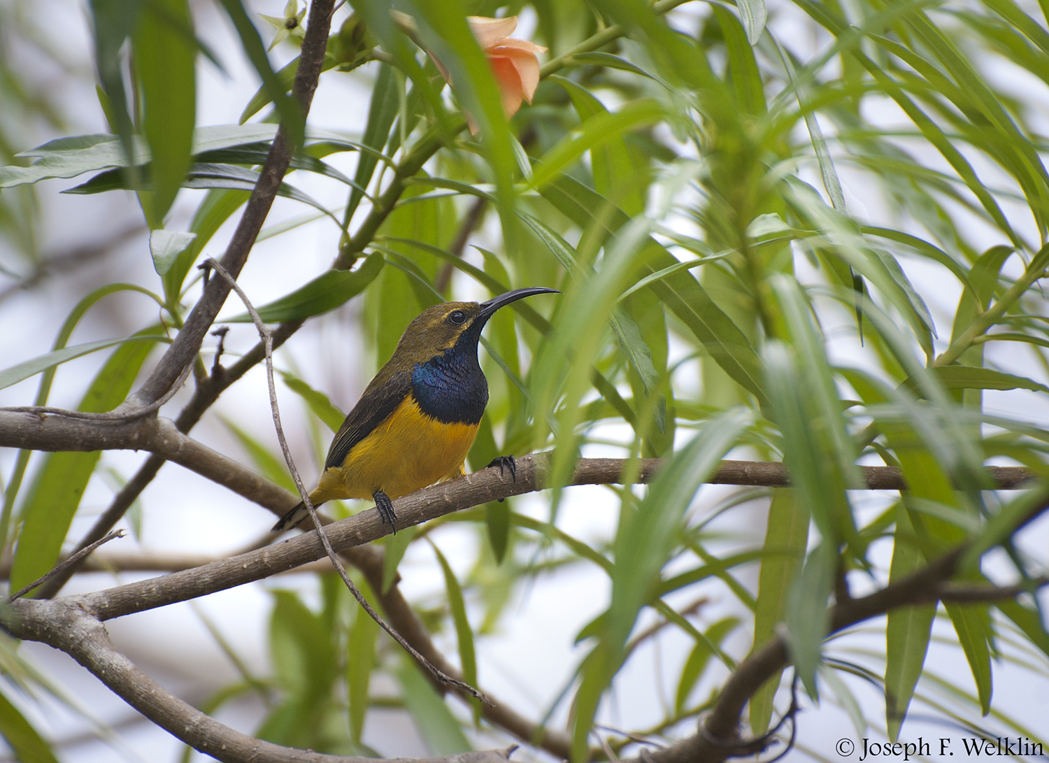 Olive-backed Sunbird. Photographed in the Atherton Tablelands, QLD, Australia.