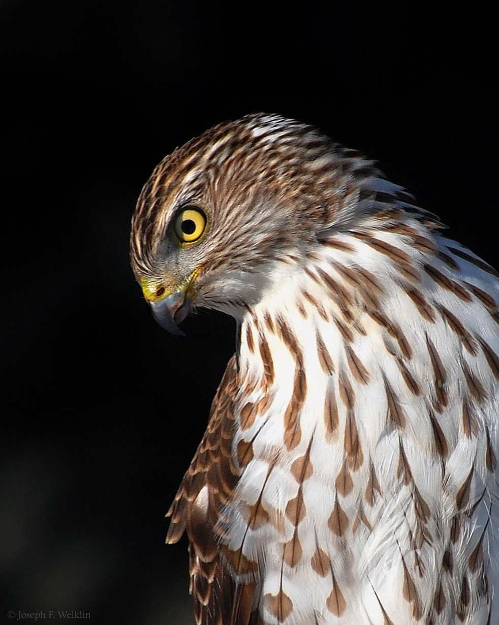 Juvenile Cooper's hawk. Photographed in Noblesville, Indiana.