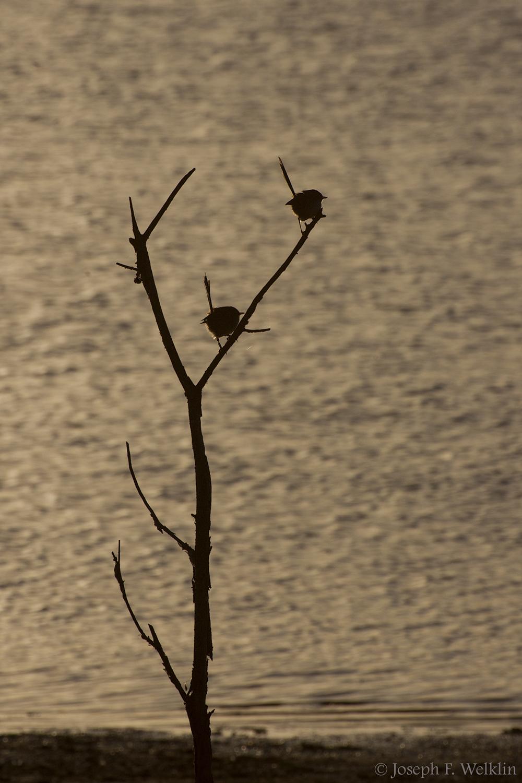 Red-backed Fairy-wrens, near Samford, Australia.