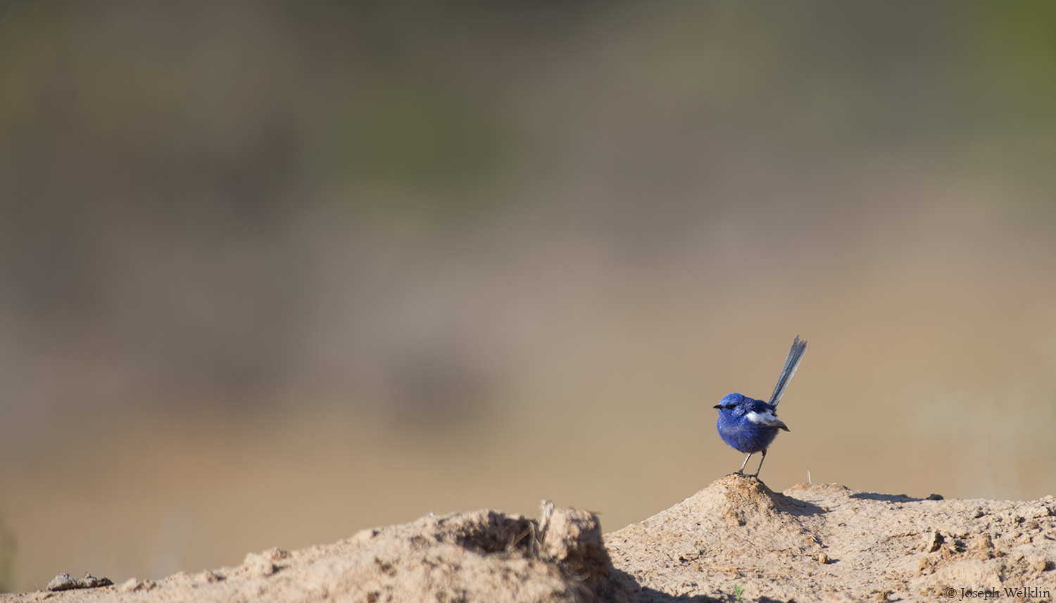 Male White-winged Fairy-wren. Photographed in Western Queensland, Australia.