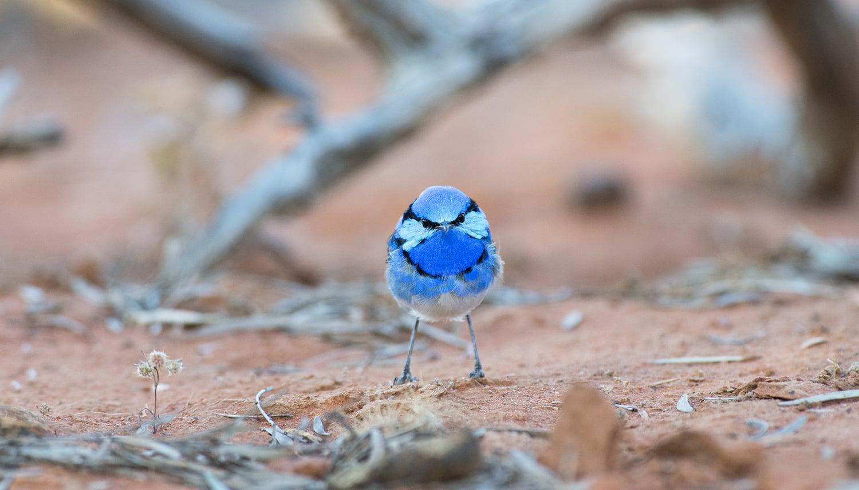 A male Splendid Fairy-wren sizes me up in the Australian Outback.