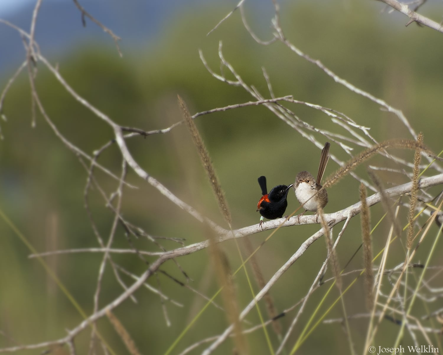 A male Red-backed Fairy-wren grooms his mate. Photographed in Queensland, Australia.