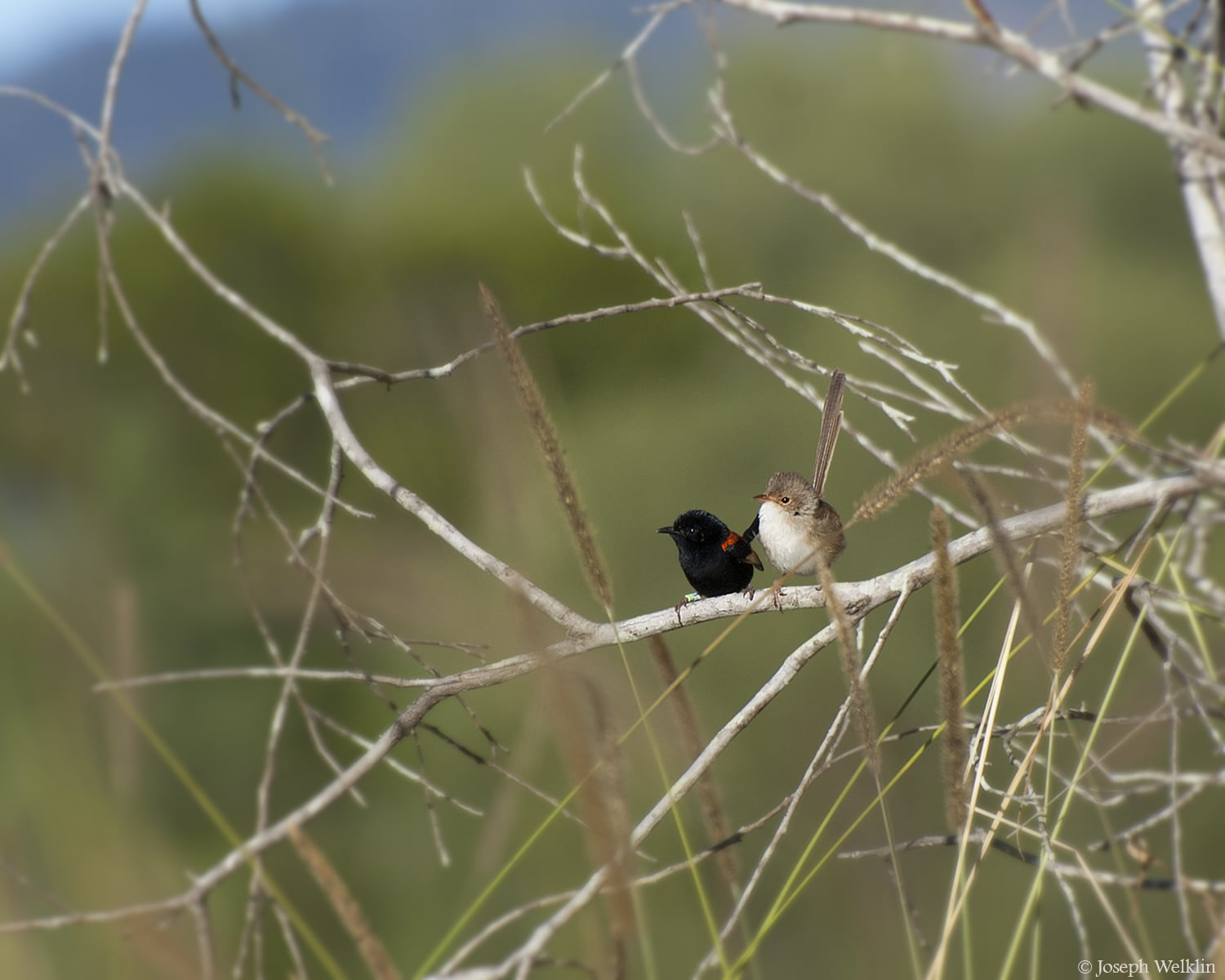 A pair of Red-backed Fairy-wrens. Photographed in Queensland, Australia.
