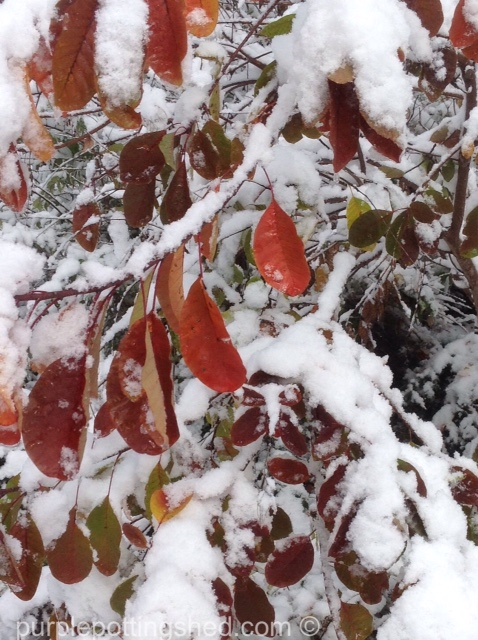 Smokebush, snow.jpg