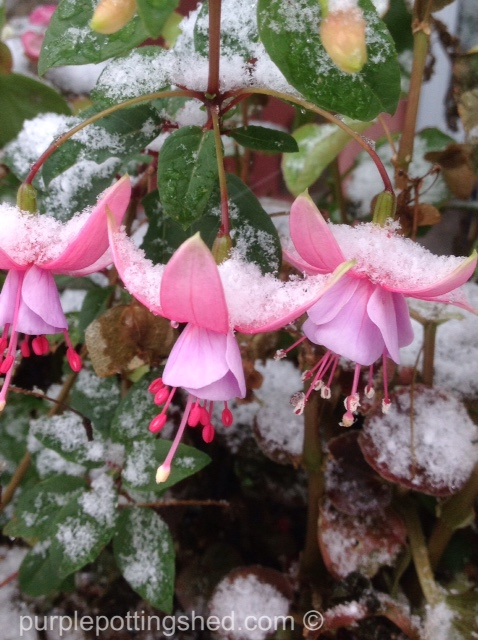 Fuschia, snow.jpg