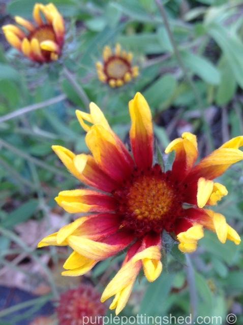 Blanket flower, late October.jpg