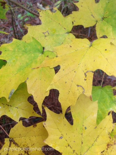 Maple leaves, yellow.jpg