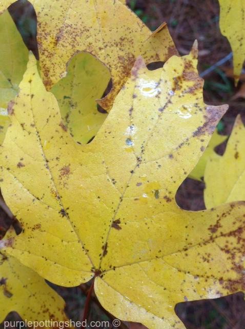 Maple leaf, golden.jpg