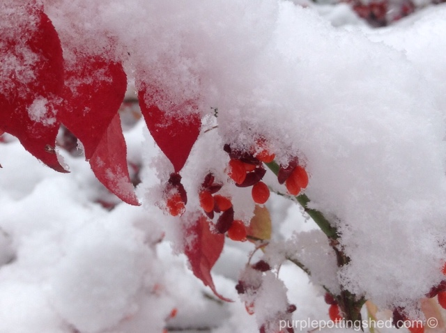 Burning-bush-snow.jpg